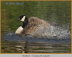 canada-goose-14.jpg