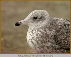 herring-gull-24.jpg