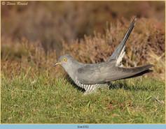 cuckoo-131.jpg