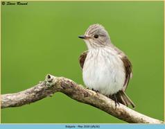 spotted-flycatcher-36.jpg