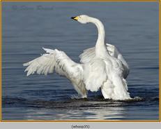 whooper-swan-35.jpg