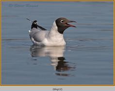 black-headed-gull-12.jpg