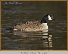 canada-goose-16.jpg