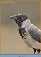 hooded-crow-13.jpg