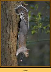 grey-squirrel-4.jpg