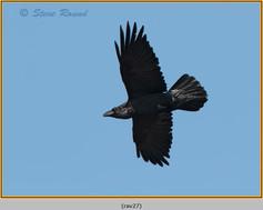 raven-27.jpg