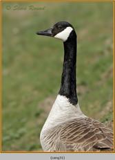 canada-goose-31.jpg