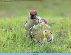 green-woodpecker-48.jpg