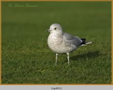 common-gull-21.jpg