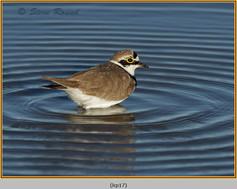 little-ringed-plover-17.jpg