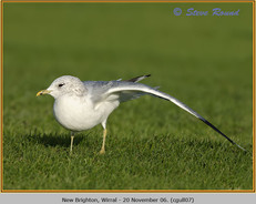 common-gull-07.jpg