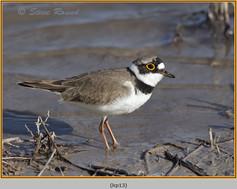 little-ringed-plover-13.jpg