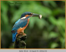 kingfisher-10.jpg