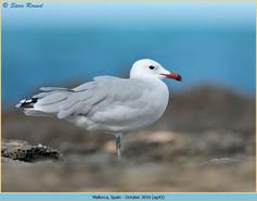 audouin's-gull-43.jpg