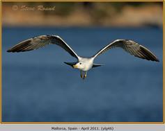 yellow-legged-gull-46.jpg