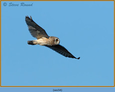 short-eared-owl-54.jpg