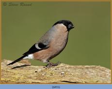 bullfinch-55.jpg