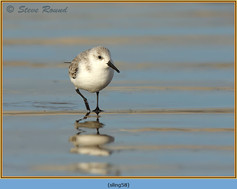 sanderling-58.jpg