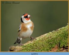 goldfinch-65.jpg