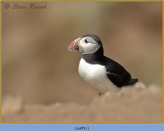 puffin- 91.jpg