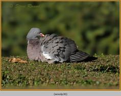 wood-pigeon-30.jpg