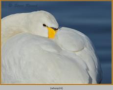 whooper-swan-24.jpg