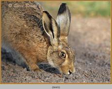 brown-hare-65.jpg