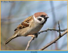 tree-sparrow-48.jpg