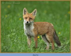 fox-71.jpg