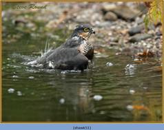 sparrowhawk-51.jpg