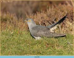cuckoo-132.jpg