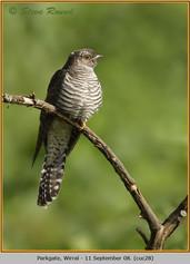 cuckoo-28.jpg