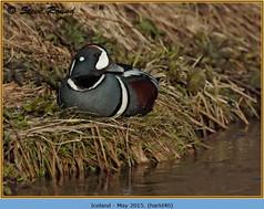 harlequin-duck-40.jpg