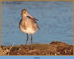 black-tailed-godwit- 91.jpg