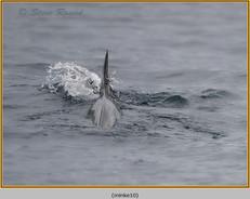 minke-whale-10.jpg