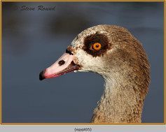 egyptian-goose-05.jpg