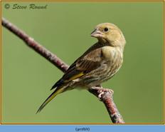 greenfinch-69.jpg