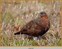 red-grouse-114.jpg