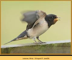 swallow-28.jpg