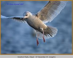 iceland-gull-01.jpg