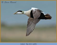 eider-duck- 99.jpg