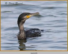 cormorant-19.jpg