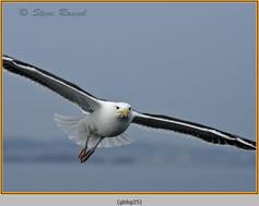 gt-b-backed-gull-25.jpg