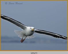 gt-b-backed-gull-25.jpg