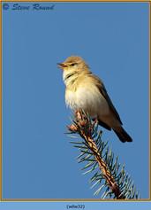 willow-warbler-32.jpg