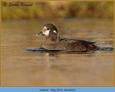 harlequin-duck-22.jpg