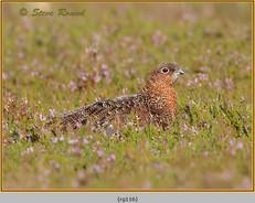 red-grouse-116.jpg