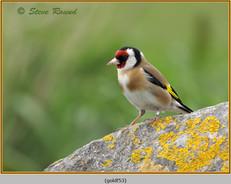 goldfinch-53.jpg