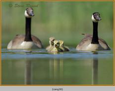 canada-goose-25.jpg