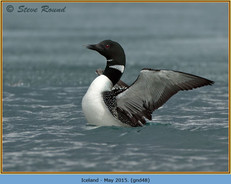 great-northern-diver-48.jpg
